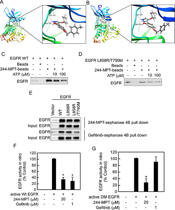 244-MPT binds and inhibits both wildtype and mutant EGFR activities in vitro and ex vivo.