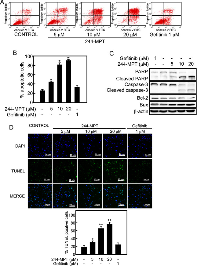 244-MPT induces apoptosis in H1975 cells.