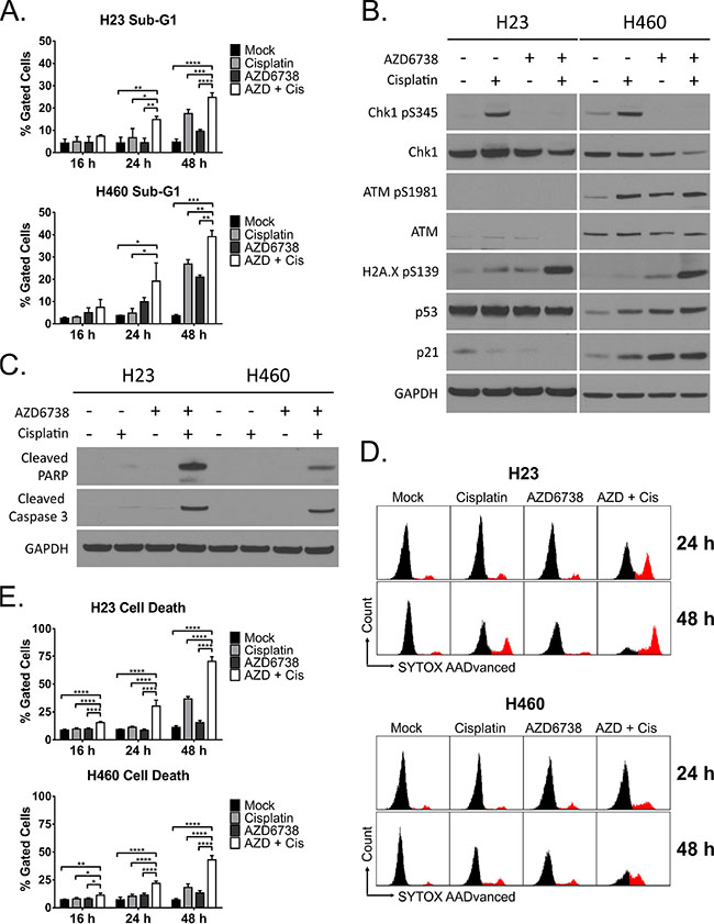 The combination of AZD6738 and cisplatin causes dramatic cell death of ATM-deficient cells independent of the ATM-p53 signaling pathway.