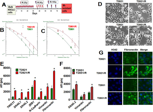 Generation of IR-resistant lung adenocarcinoma cells surviving multiple fractions of IR.