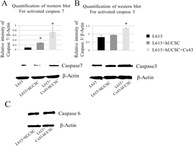 Increasing levels of activated caspase in L615 cells when co-cultured with BMSCs.
