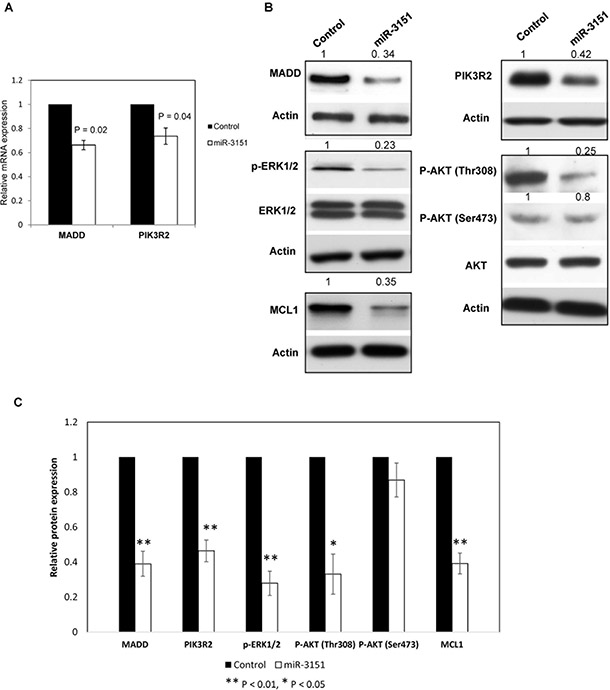 miR-3151 regulates the MEK/ERK and PI3K/AKT signaling by repressing MADD and PIK3R2 respectively.