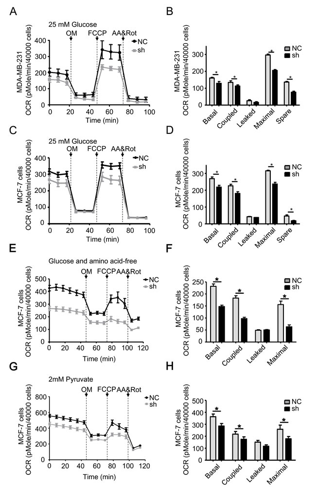 TRAP1 knockdown reduces mitochondrial aerobic respiratory in breast cancer cells.