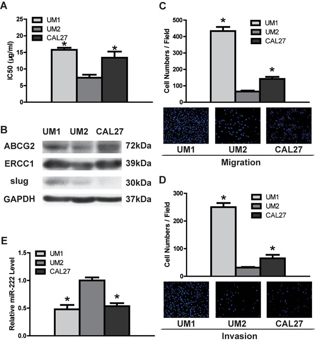 DDP resistance, migratory/invasive potential and miR-222 expression in TSCC cell lines.