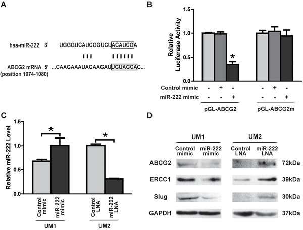 miR-222 directly targets and reduces the expression of ABCG2 in TSCC.