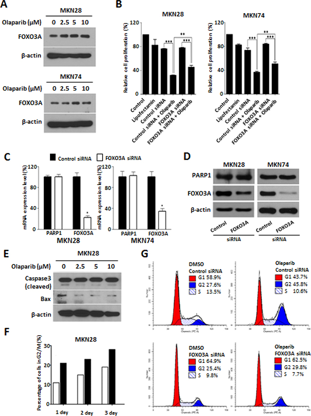 PARP1 inhibition induce G2/M cell cycle arrest and FOXO3A expression.