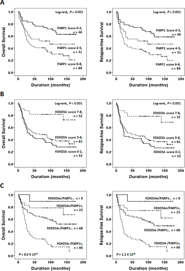 Survival analyses of PARP1 and FOXO3A expression status.