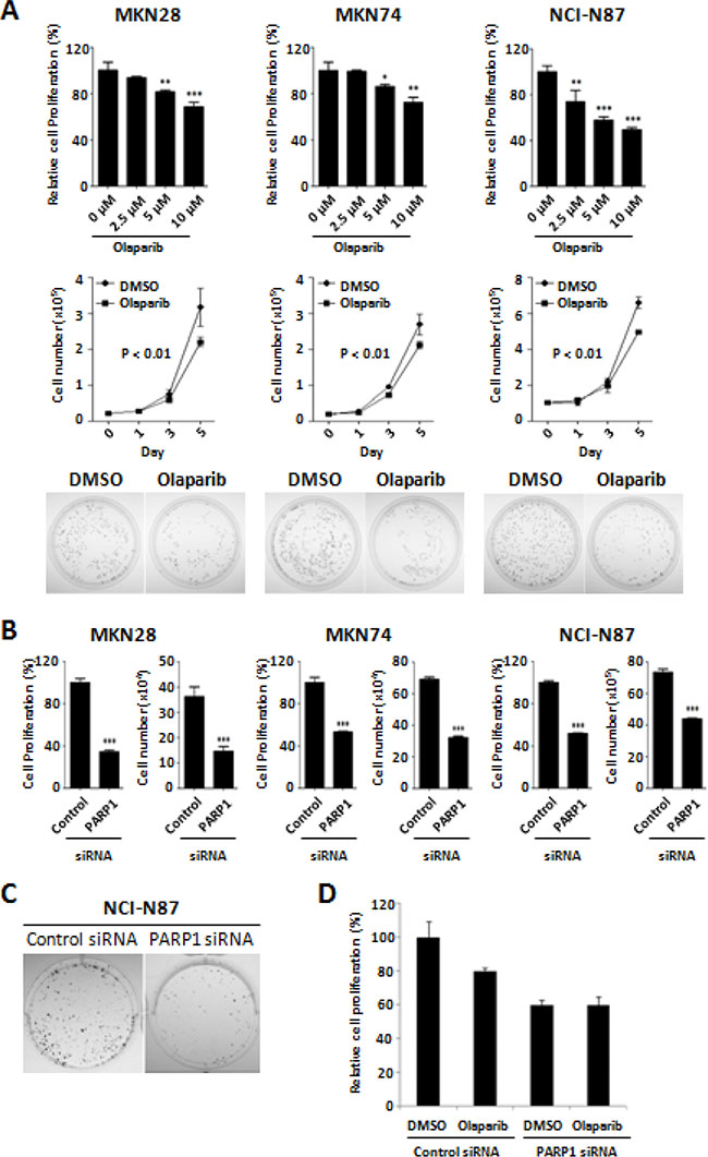 Anti-proliferative activity of Olaparib and PARP1 siRNA against gastric cancer cells.