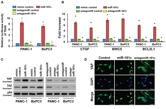 MiR-181c inactivates the tumor-suppressive Hippo signaling pathway.
