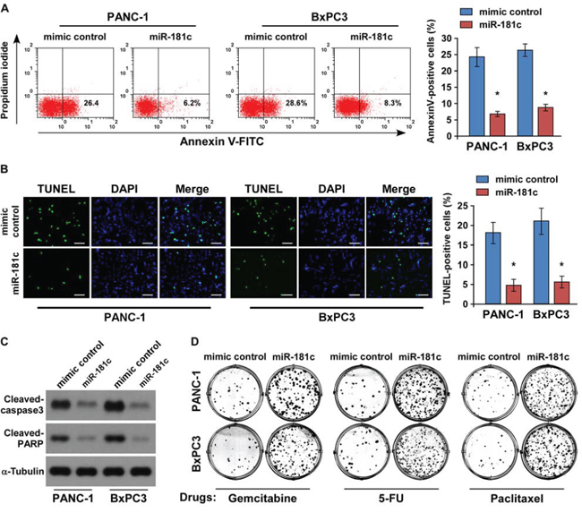Upregulation of miR-181c promotes pancreatic cancer cell chemoresistance in vitro.