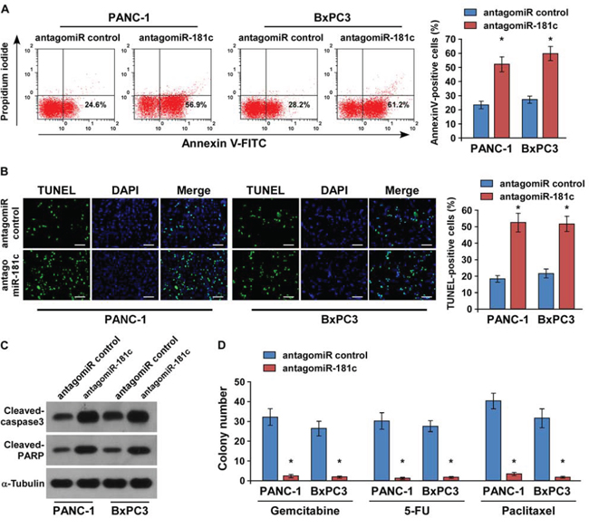 Silencing of miR-181c increases chemotherapeutic drug–induced apoptosis of pancreatic cancer cells in vitro.