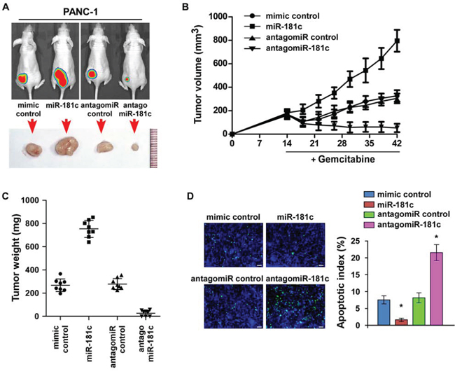 Inhibition of miR-181c sensitizes pancreatic cancer cells to chemotherapeutic drugs in vivo.