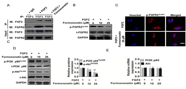 Formononetin attenuated FGFR2 activity and FGFR2 signaling pathway.