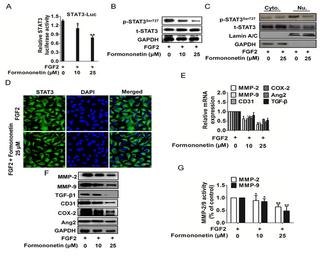 Formononetin attenuates FGF2 induced STAT3 activation in HUVECs.