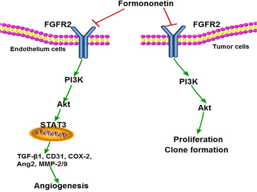Proposed model by which formononetin treatment suppresses tumor angiogenesis and growth via inhibiting FGFR2 signaling pathway.
