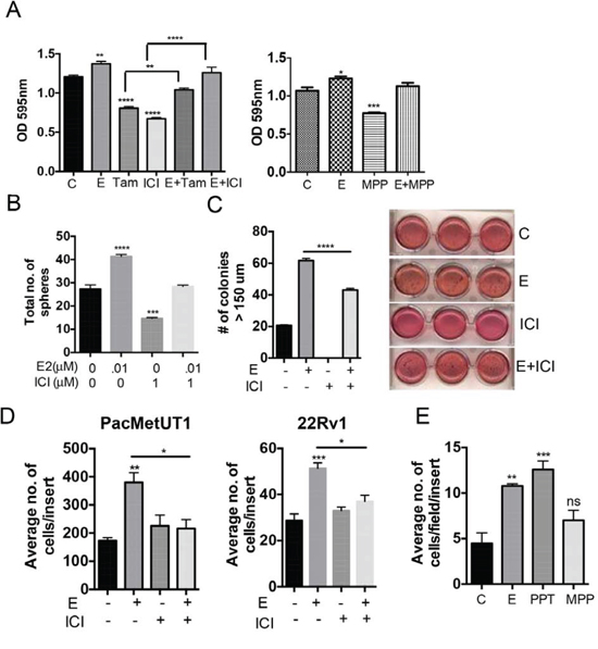 Estrogen increases anchorage-dependent and independent cell growth, migration and growth in suspension culture of prostate cancer cells.
