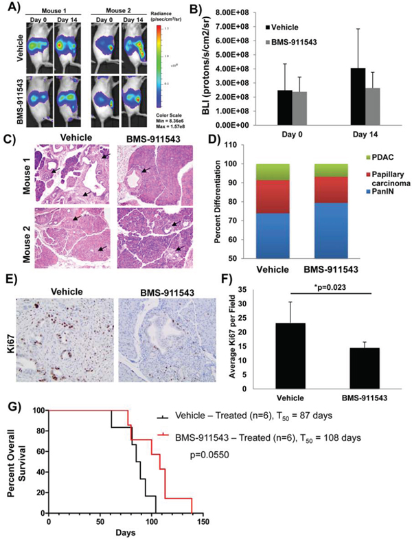 Effect of in vivo administration of BMS-911543 on biomarkers of tumor progression in the KPC-Brca1 GEMM.