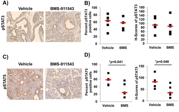 Administration of BMS-911543 decreases pSTAT5 expression PDAC tumors.