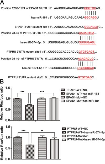 miR-574-5p and miR-184 directly suppress PTPRU and EPAS1, respectively, and can alternately activate or inhibit β-catenin signaling.