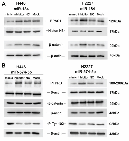 An immunoblot analysis was performed to determine the expression levels of EPAS1, PTPRU and β-catenin in response to miR-184 or miR-574-5p in SCLC cell lines.