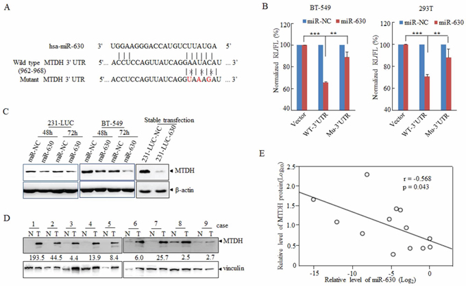 MiR-630 targets MTDH directly in breast cancer cell lines.