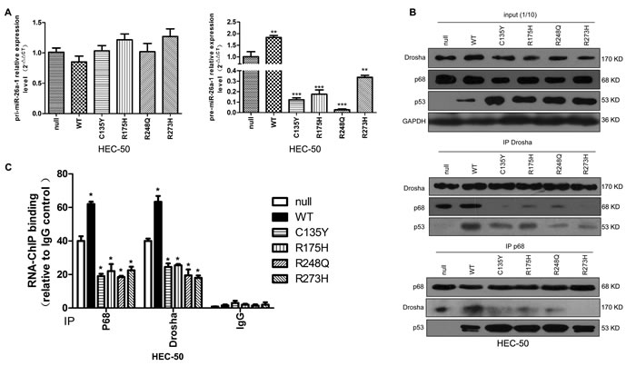 miRNA processing is deregulated by mutp53.