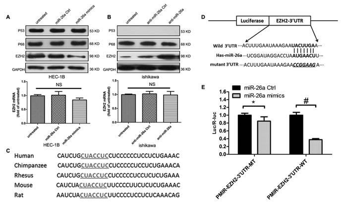miR-26a negatively regulates EZH2 protein expression in EC cells.