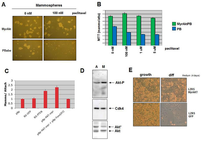 Activated AKT results in increased mammosphere formation, reduced sensitivity to paclitaxel and inhibition of differentiation.