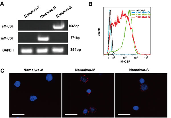 Establishment of Namalwa cell lines stably expressing mM-CSF or sM-CSF.