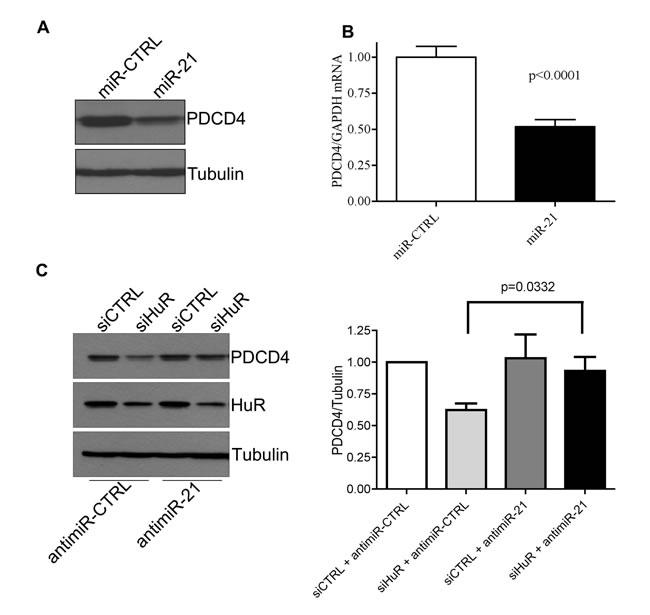 HuR regulates PDCD4 stability via miR-21.
