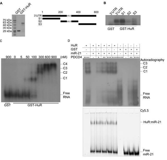 HuR oligomerizes on the PDCD4 3'UTR.