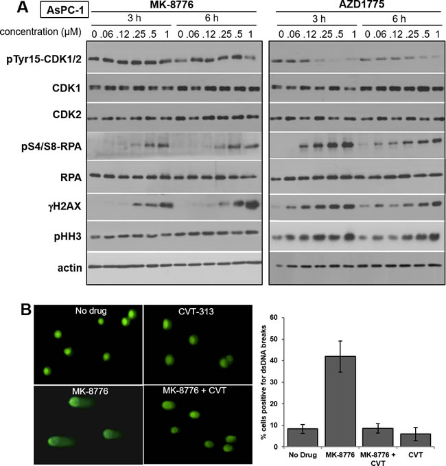 Impact of MK-8776 and AZD1775 on markers of CDK1/2 activity and DNA double-strand breaks.