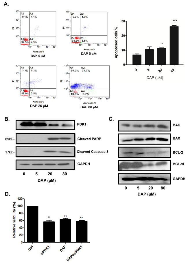 DAP induced apoptosis and inhibited PDK1 signaling in AML cells.