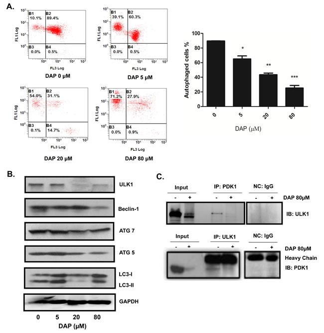 DAP inhibited autophagy in AML cells.