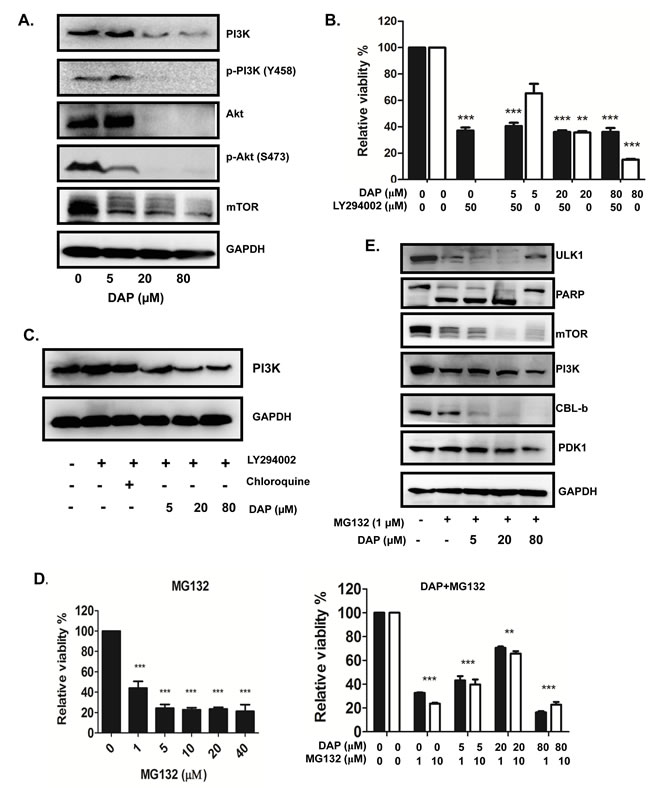 DAP inhibited PI3K/Akt signaling pathway in AML cells.