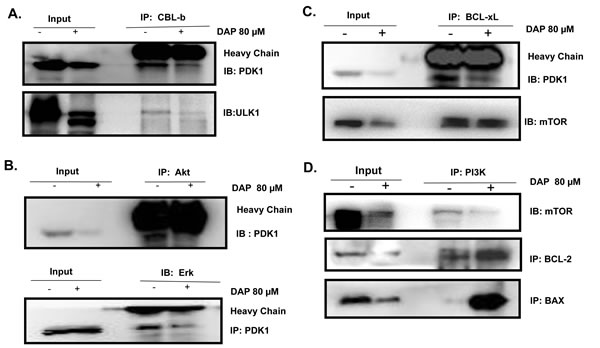DAP inhibited the interaction of PDK with CBLb, Akt and BCL-xL in AML cells.