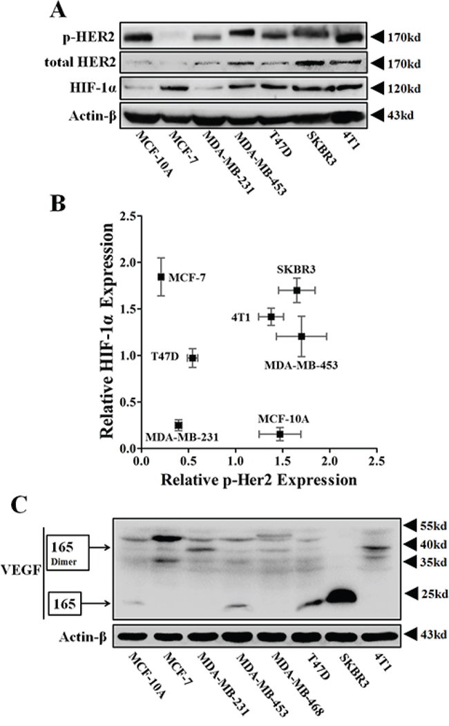 The protein expressions of p-HER2 (Tyr 1221/1222), total HER2, HIF-1α and VEGFA of various breast cancer cells.