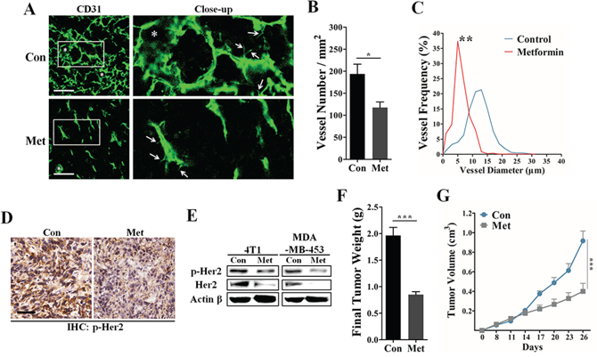 Inhibitory effects of metformin on tumor angiogenesis and HER2 activity.