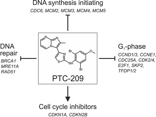 Summarized effects of PTC-209 on the cell cycle in biliary tract cancer cells.