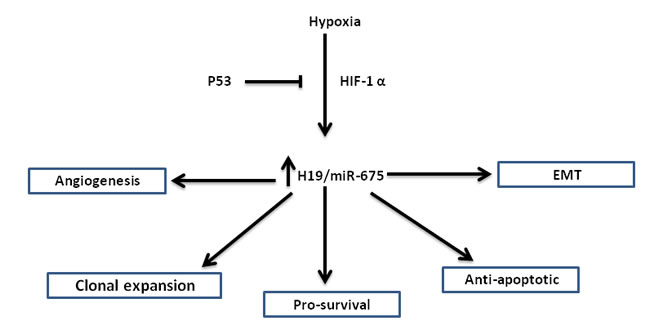Figure 1:The various roles of H19/miR-675 in the hypoxic stress response: