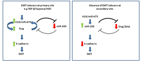 The H19/miR-675 axis orchestrates EMT/MET phenotypes by modulating Slug-miR-200 levels: