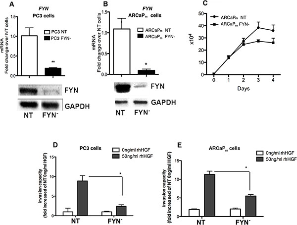 FYN promotes invasion of PCa cells in vitro in response to HGF stimulation.