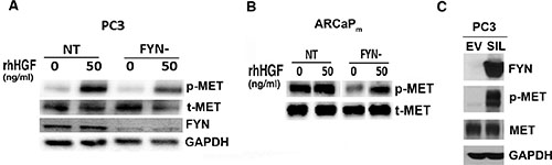 FYN promotes MET activation and phosphorylation in PC3 and ARCaPM cells.