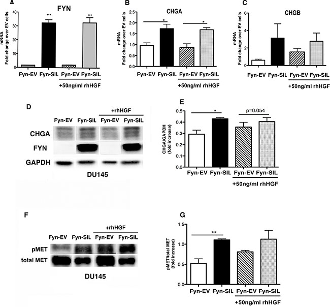 FYN expression is directly associated with NEPC phenotype.