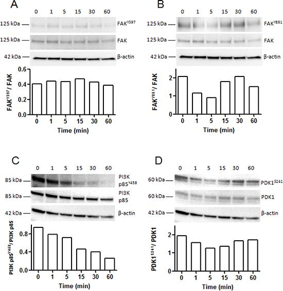 Kinetic analysis of FAK, PI3K p85 subunit of PI3 kinase and PDK1 phosphorylation in SK-MEL-28 melanoma cells after incubation with NC1(XIX).