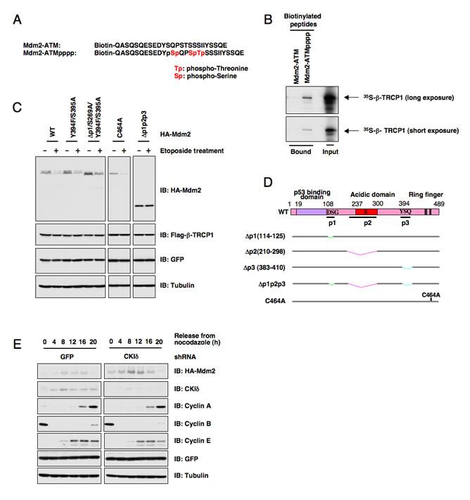 ATM-mediated phosphorylation of Mdm2 is not critical for Mdm2 destruction.