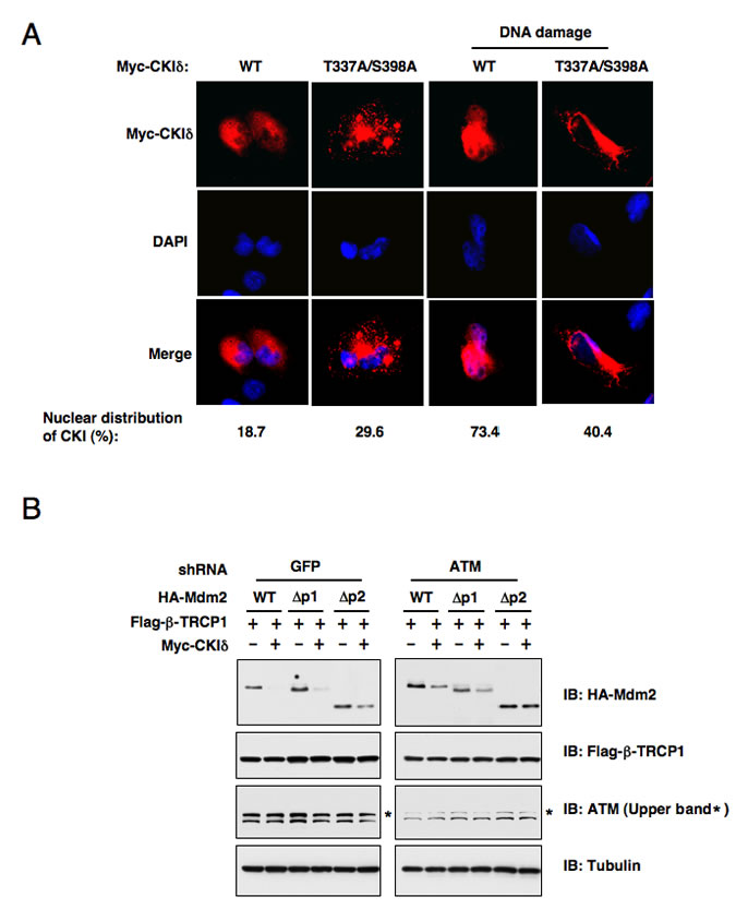 ATM-mediated phosphorylation of CK1δ promotes CK1δ localization, and subsequent phosphorylation of Mdm2 to trigger Mdm2 degradation.