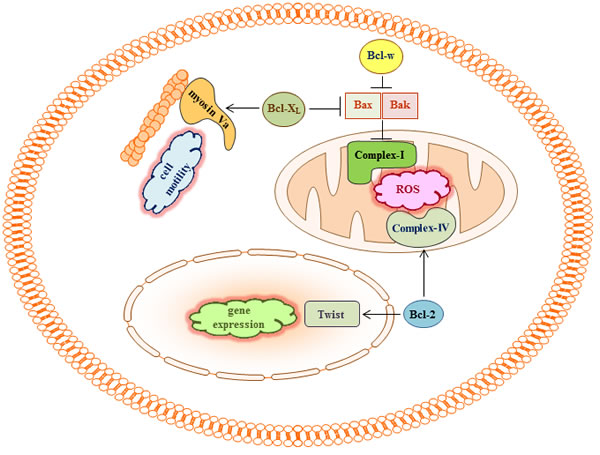 Bcl-2 proteins may regulate cell migration and invasion by binding to multiple targets.