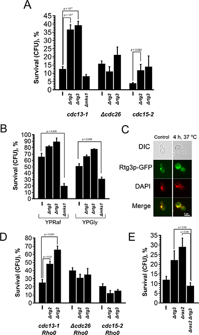 Deletion of Rtg genes and MKS1 have opposite effects on the survival of cdc13-1 cells.