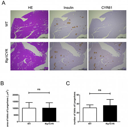 Tissue-specific expression of CYR61 does not alter the size or number of islets of Langerhans in Rip1CYR mice.